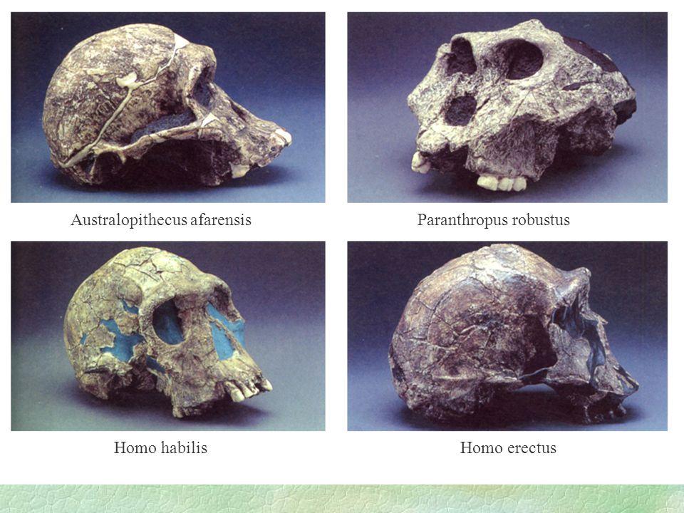 Australopithecus afarensis Paranthropus robustus Homo habilis Homo erectus