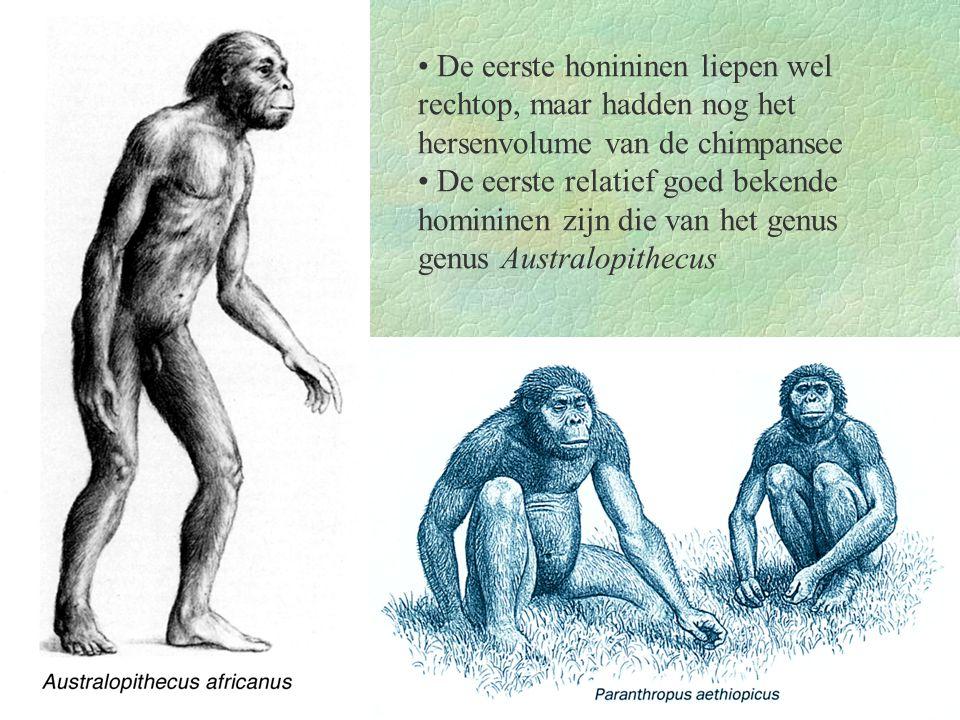 De eerste honininen liepen wel rechtop, maar hadden nog het hersenvolume van de chimpansee De eerste relatief goed bekende homininen zijn die van het