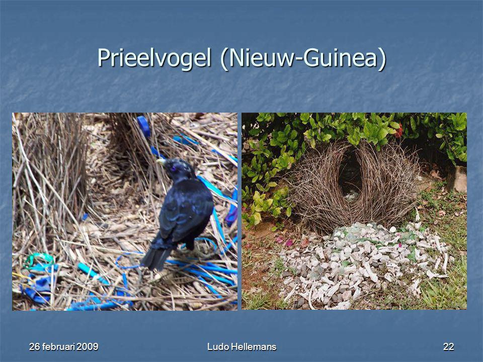 26 februari 2009Ludo Hellemans22 Prieelvogel (Nieuw-Guinea)