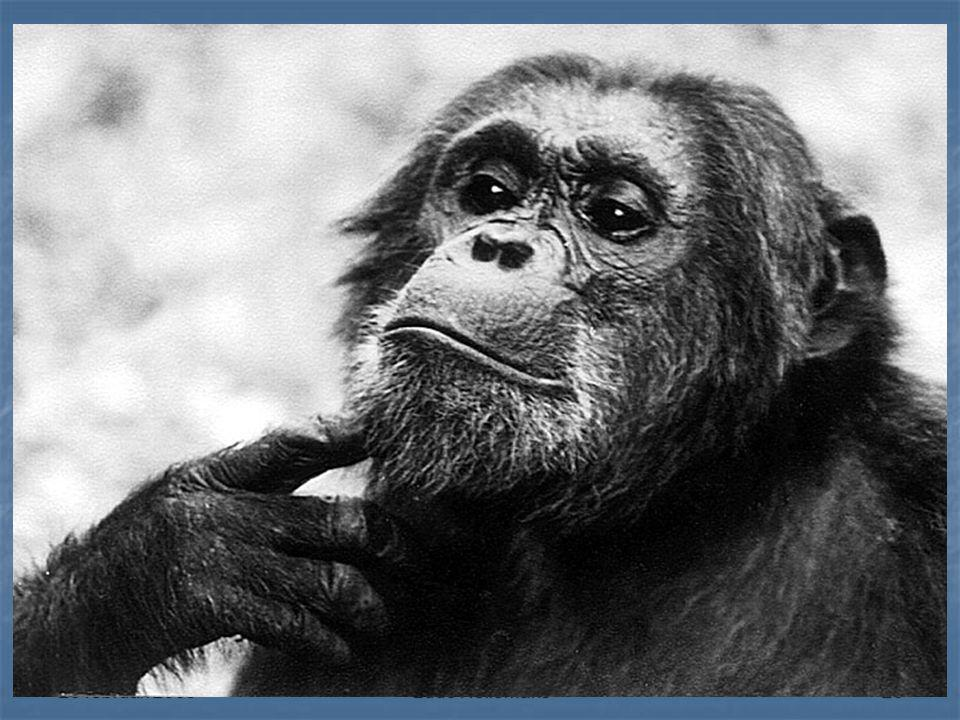 26 februari 2009Ludo Hellemans26 Chimpanzee 'Mike'