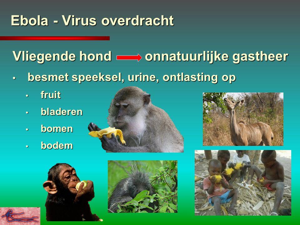 Ebola - Virus overdracht Vliegende hond onnatuurlijke gastheer besmet speeksel, urine, ontlasting op besmet speeksel, urine, ontlasting op fruit fruit