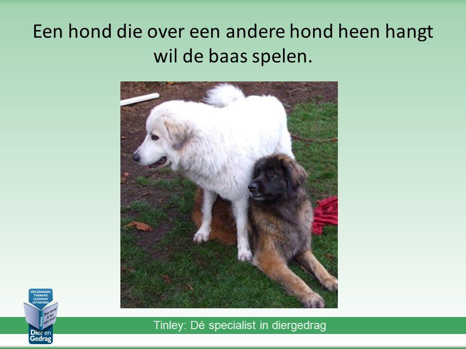 Tinley: Dé specialist in diergedrag Een hond die over een andere hond heen hangt wil de baas spelen.