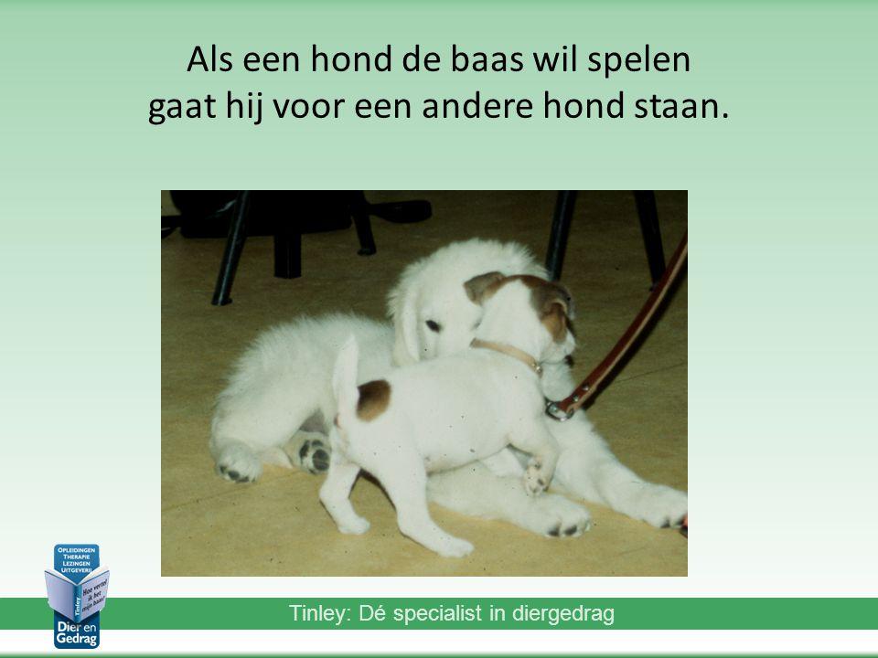 Tinley: Dé specialist in diergedrag Als een hond de baas wil spelen gaat hij voor een andere hond staan.