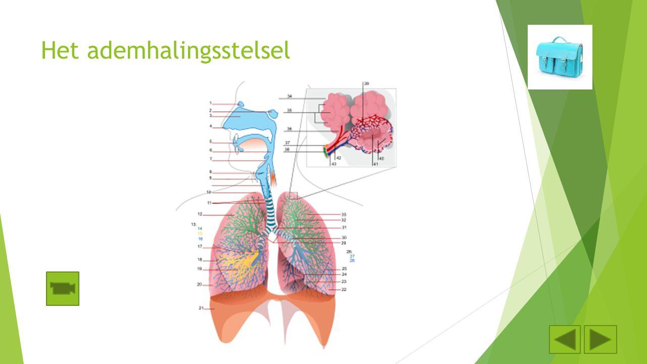 Het ademhalingsstelsel