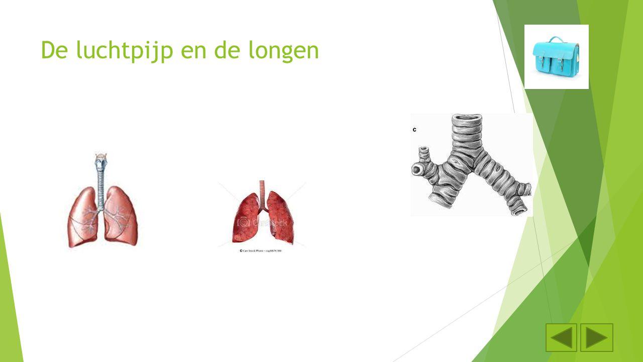De luchtpijp en de longen