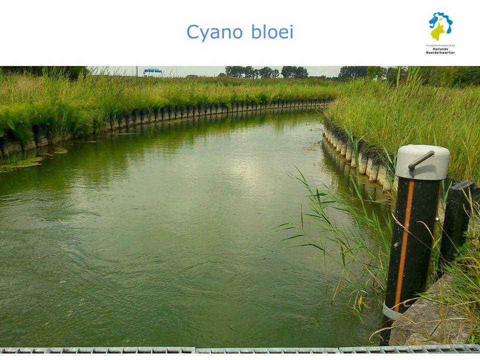 Cyano bloei