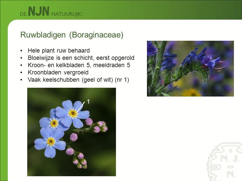 Ruwbladigen (Boraginaceae) Hele plant ruw behaard Bloeiwijze is een schicht, eerst opgerold Kroon- en kelkbladen 5, meeldraden 5 Kroonbladen vergroeid