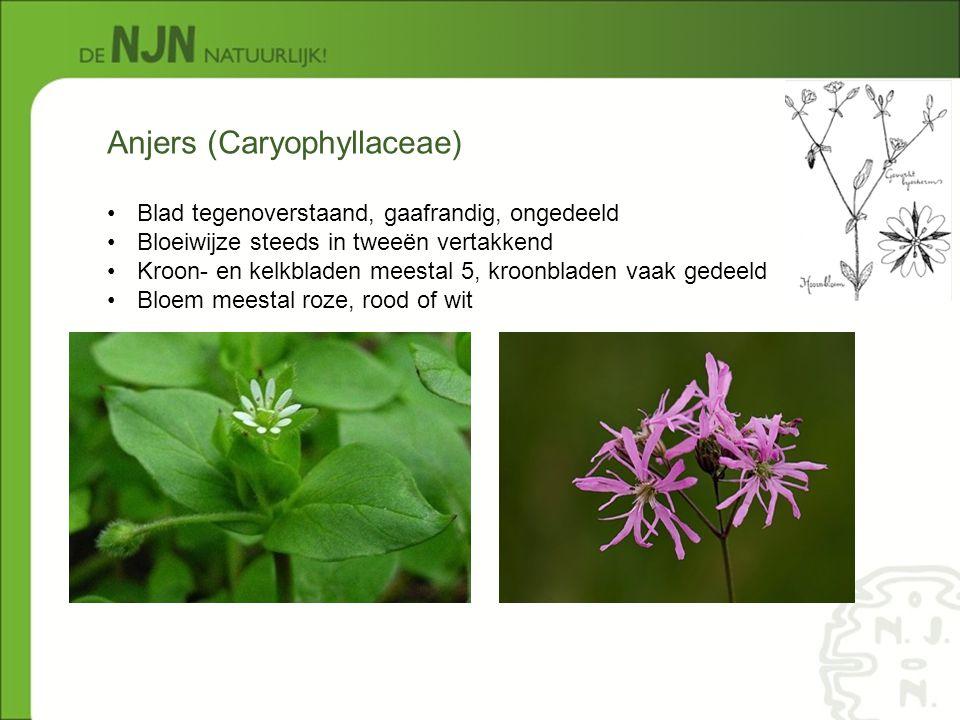 Anjers (Caryophyllaceae) Blad tegenoverstaand, gaafrandig, ongedeeld Bloeiwijze steeds in tweeën vertakkend Kroon- en kelkbladen meestal 5, kroonblade