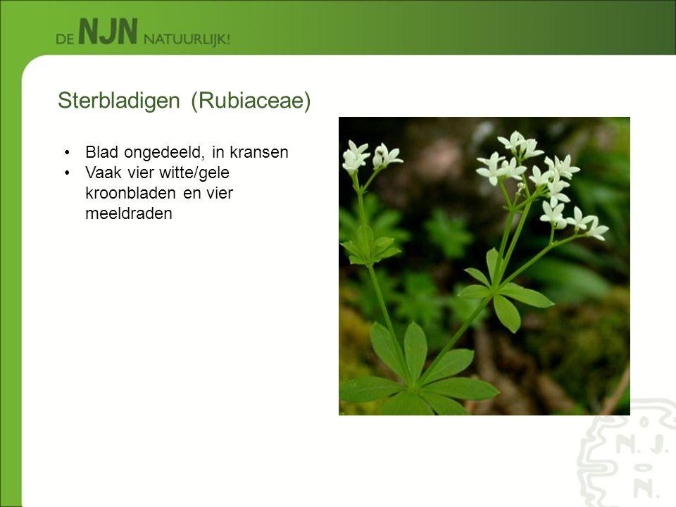 Sterbladigen (Rubiaceae) Blad ongedeeld, in kransen Vaak vier witte/gele kroonbladen en vier meeldraden