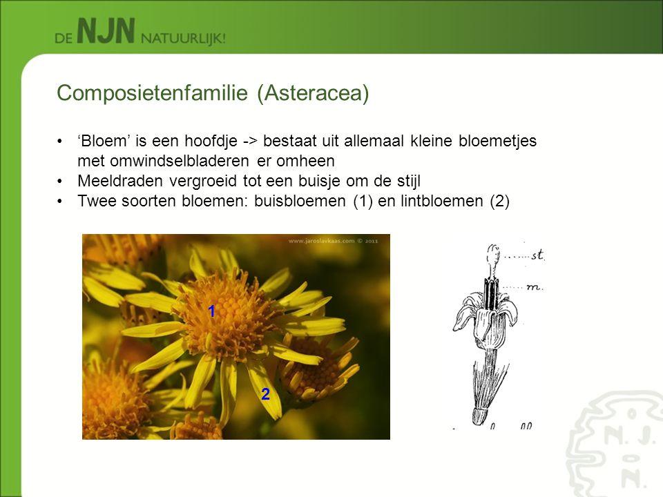 Composietenfamilie (Asteracea) 'Bloem' is een hoofdje -> bestaat uit allemaal kleine bloemetjes met omwindselbladeren er omheen Meeldraden vergroeid t