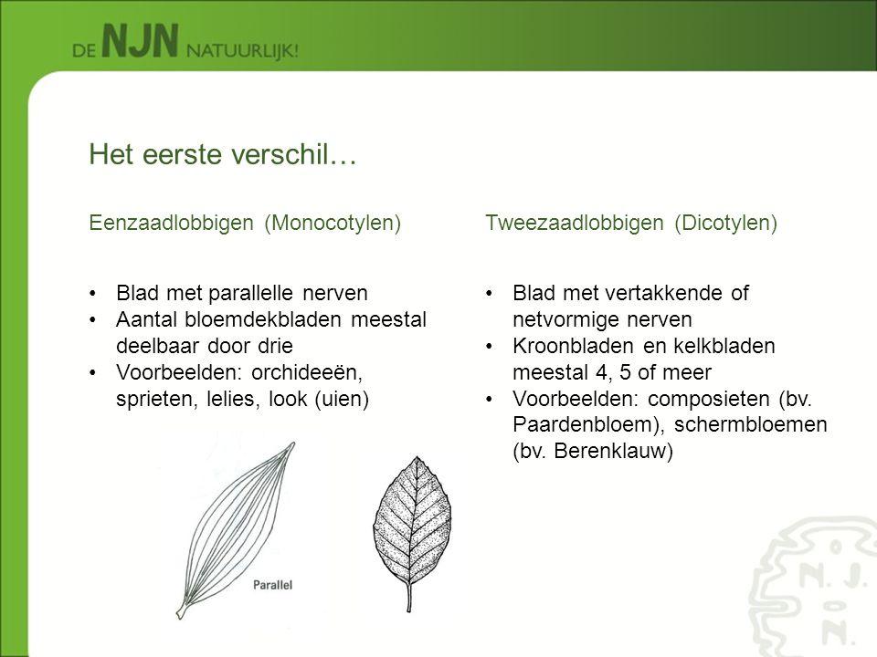 Eenzaadlobbigen (Monocotylen) Tweezaadlobbigen (Dicotylen) Het eerste verschil… Blad met parallelle nerven Aantal bloemdekbladen meestal deelbaar door