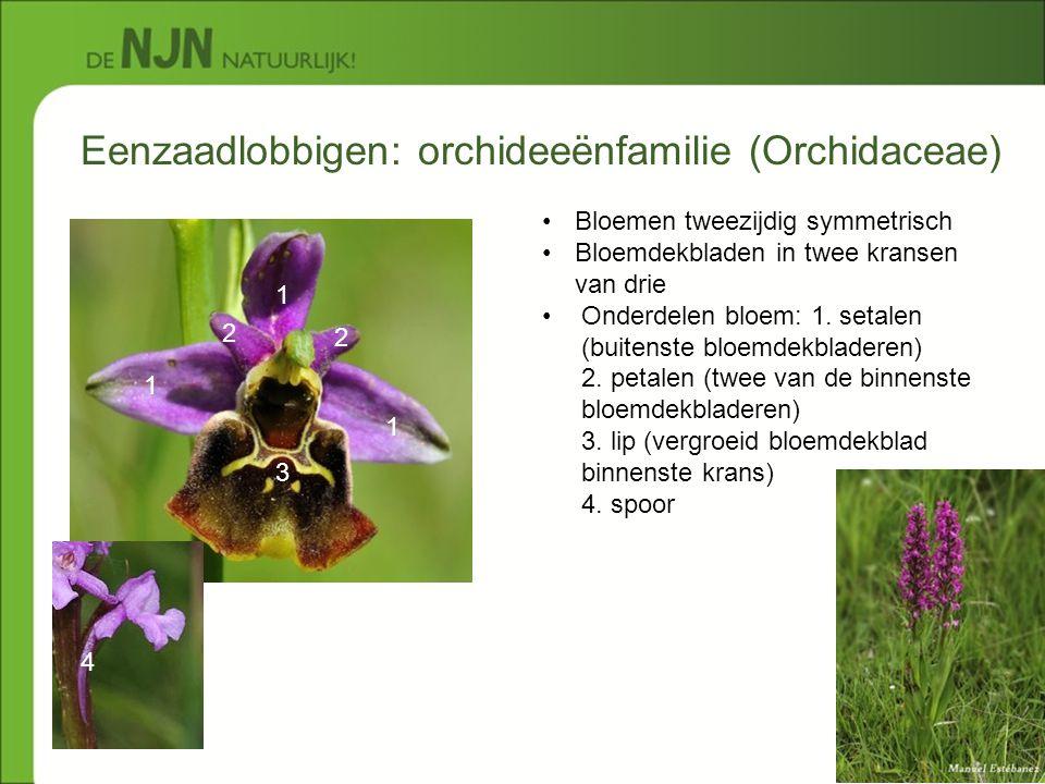 Eenzaadlobbigen: orchideeënfamilie (Orchidaceae) 1 2 1 1 2 3 4 Bloemen tweezijdig symmetrisch Bloemdekbladen in twee kransen van drie Onderdelen bloem