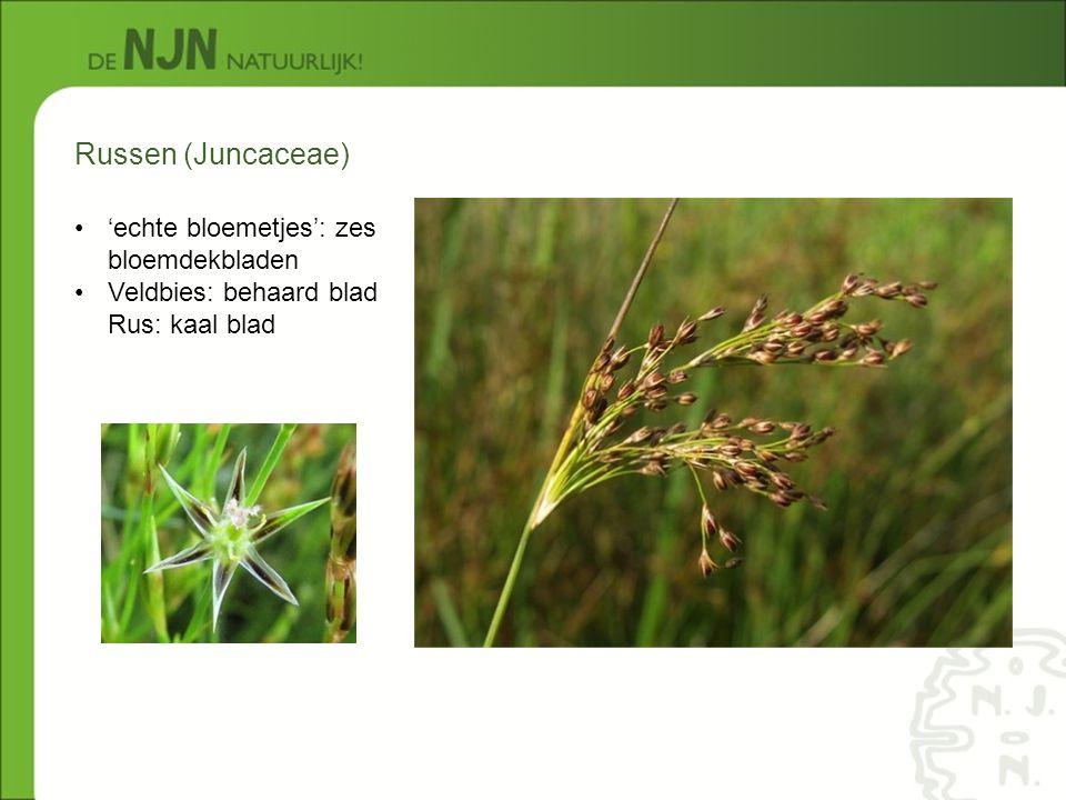 Russen (Juncaceae) 'echte bloemetjes': zes bloemdekbladen Veldbies: behaard blad Rus: kaal blad