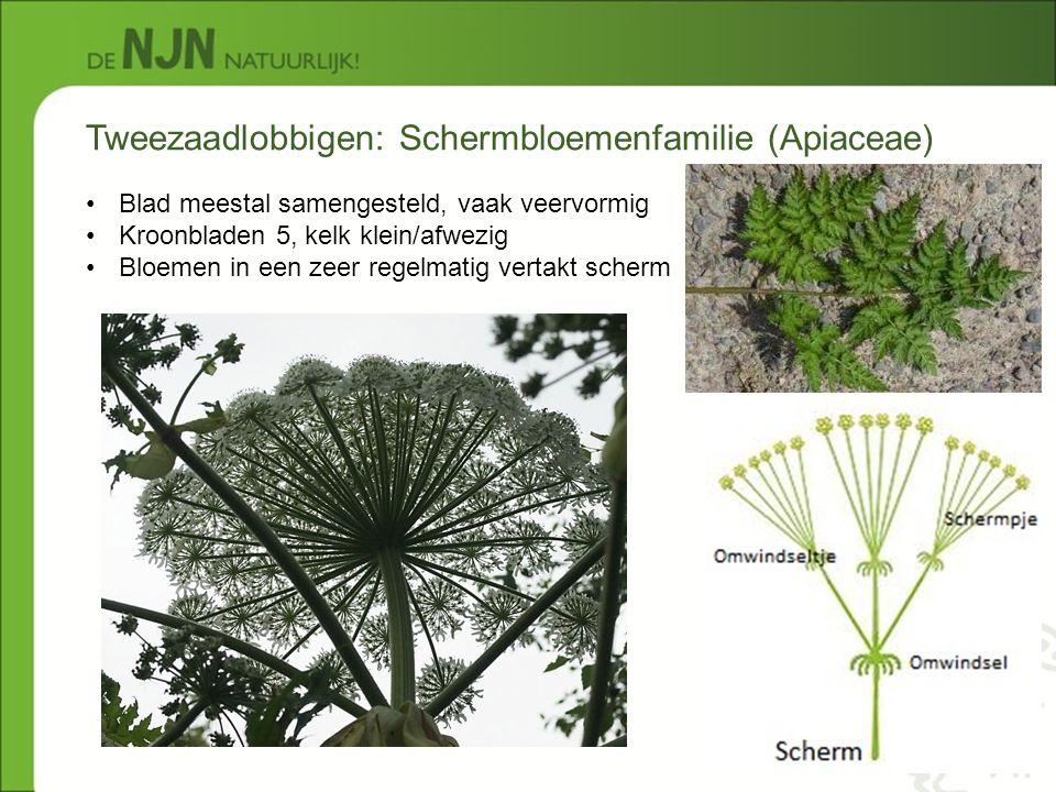 Tweezaadlobbigen: Schermbloemenfamilie (Apiaceae) Blad meestal samengesteld, vaak veervormig Kroonbladen 5, kelk klein/afwezig Bloemen in een zeer reg