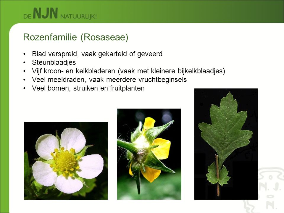Rozenfamilie (Rosaseae) Blad verspreid, vaak gekarteld of geveerd Steunblaadjes Vijf kroon- en kelkbladeren (vaak met kleinere bijkelkblaadjes) Veel m