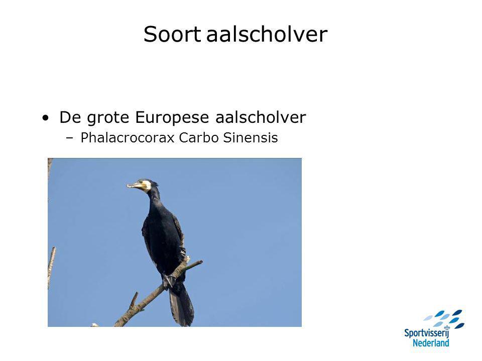 Soort aalscholver De grote Europese aalscholver –P–Phalacrocorax Carbo Sinensis