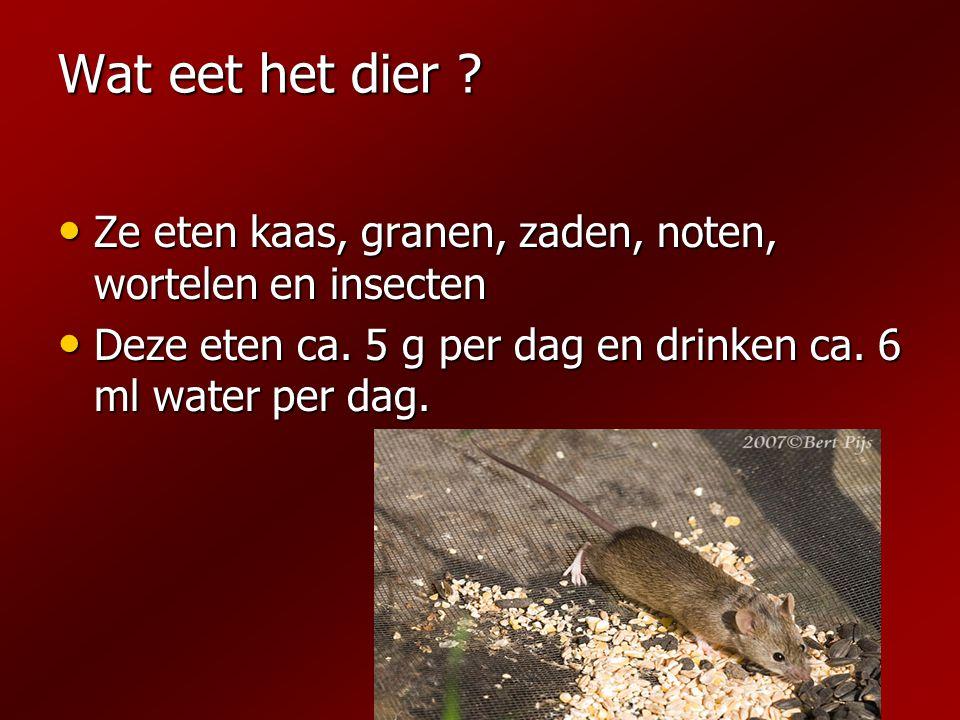 Wat eet het dier ? Ze eten kaas, granen, zaden, noten, wortelen en insecten Ze eten kaas, granen, zaden, noten, wortelen en insecten Deze eten ca. 5 g