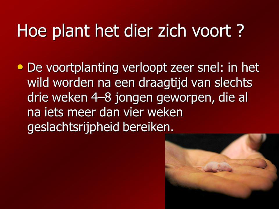 Hoe plant het dier zich voort ? De voortplanting verloopt zeer snel: in het wild worden na een draagtijd van slechts drie weken 4–8 jongen geworpen, d
