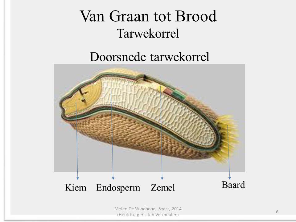 Van Graan tot Brood Tarwekorrel Zemel ca.15% 7 lagen; De binnenste laag = Aleuron Tegen de aleuron zitten de meeste enzymen.