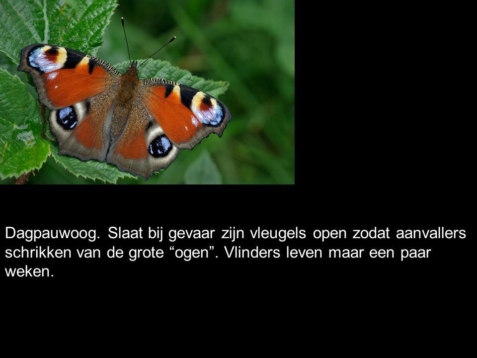 """Dagpauwoog. Slaat bij gevaar zijn vleugels open zodat aanvallers schrikken van de grote """"ogen"""". Vlinders leven maar een paar weken."""
