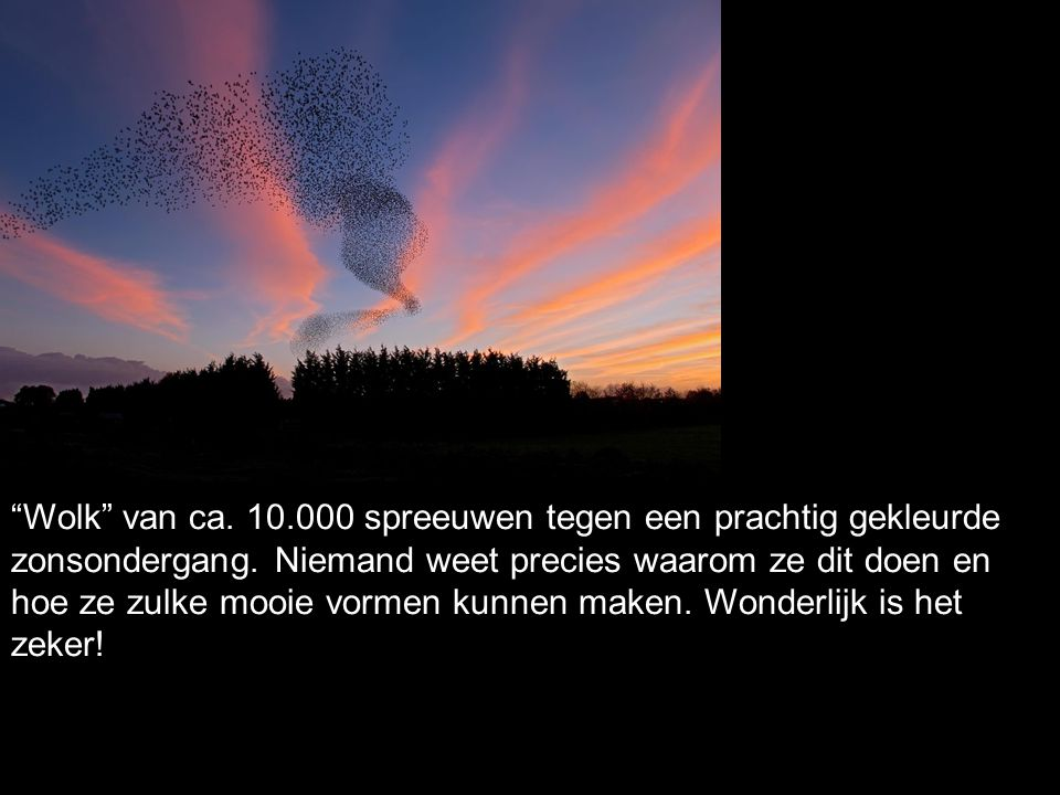 """""""Wolk"""" van ca. 10.000 spreeuwen tegen een prachtig gekleurde zonsondergang. Niemand weet precies waarom ze dit doen en hoe ze zulke mooie vormen kunne"""