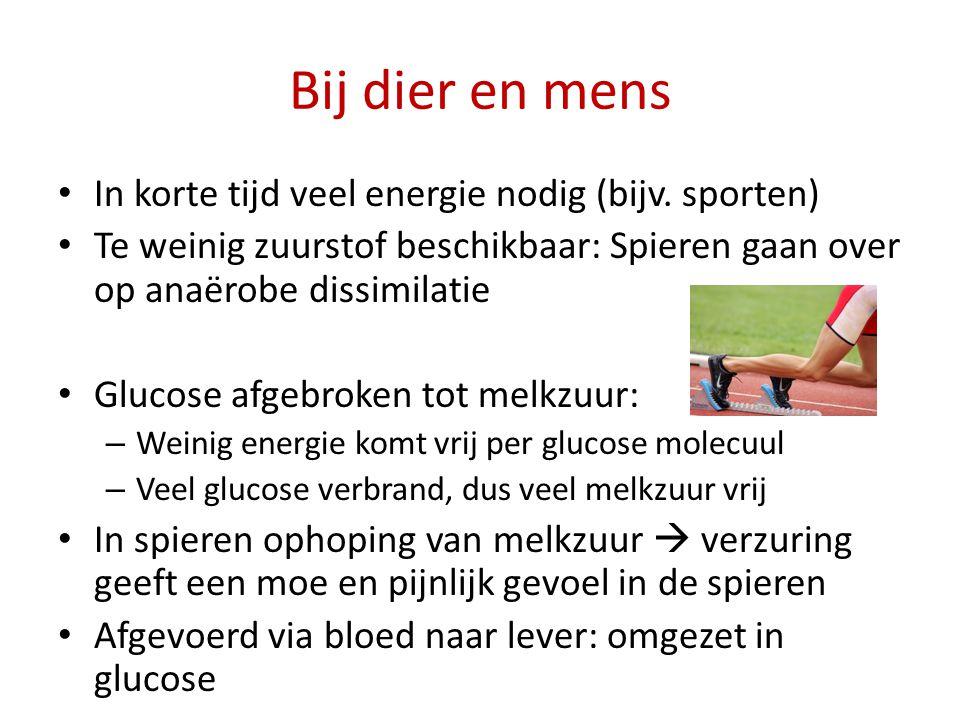 Bij dier en mens In korte tijd veel energie nodig (bijv. sporten) Te weinig zuurstof beschikbaar: Spieren gaan over op anaërobe dissimilatie Glucose a