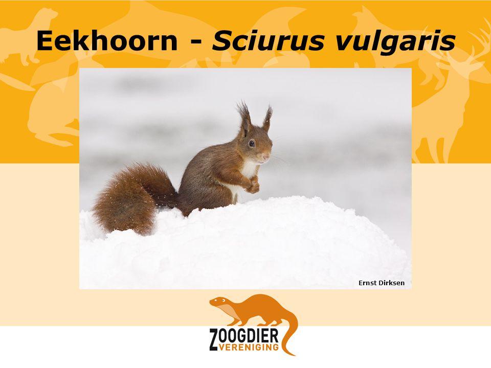 Eekhoorn - Sciurus vulgaris Ernst Dirksen