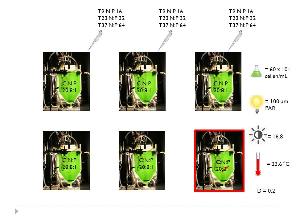 T9 N:P 16 T23 N:P 32 T37 N:P 64 C:N:P 20:8:1 T9 N:P 16 T23 N:P 32 T37 N:P 64 T9 N:P 16 T23 N:P 32 T37 N:P 64 C:N:P 20:8:1 C:N:P 20:8:1 C:N:P 20:8:1 C:N:P 20:8:1 C:N:P 20:8:1 = 60 x 10 3 cellen/mL = 100 µm PAR = 16:8 = 23.6 °C D = 0.2