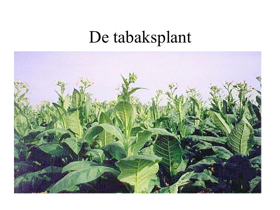 De tabaksplant