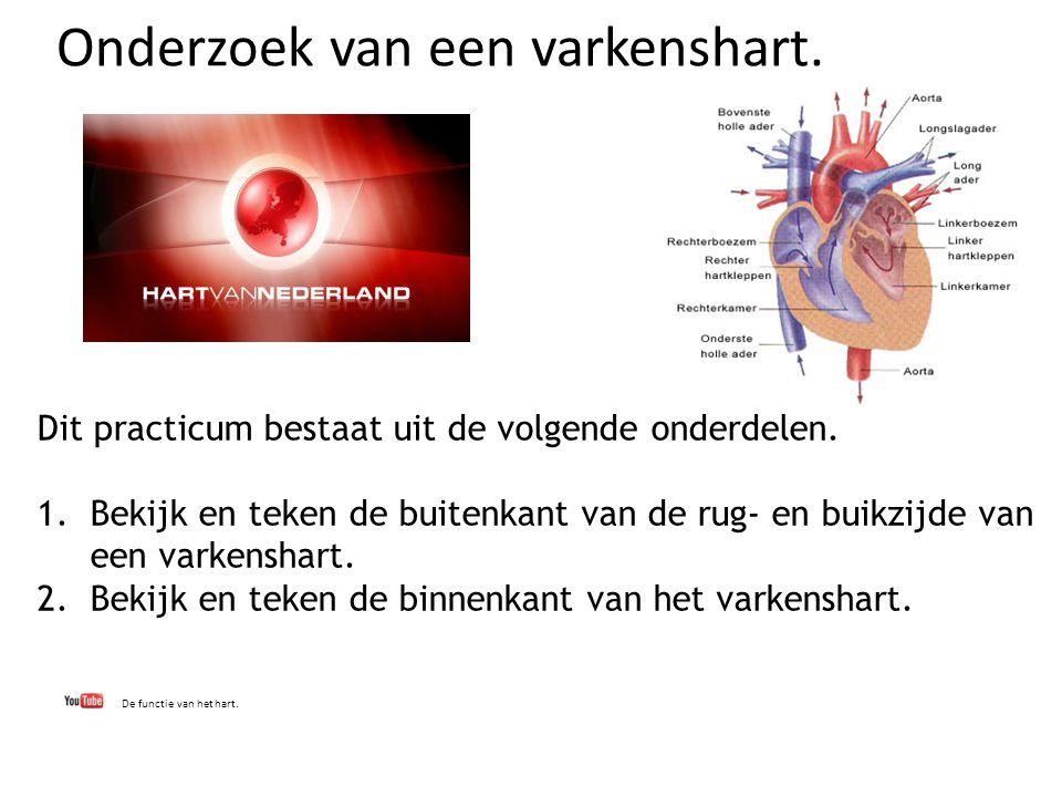 Onderzoek van een varkenshart. De functie van het hart. Dit practicum bestaat uit de volgende onderdelen. 1.Bekijk en teken de buitenkant van de rug-