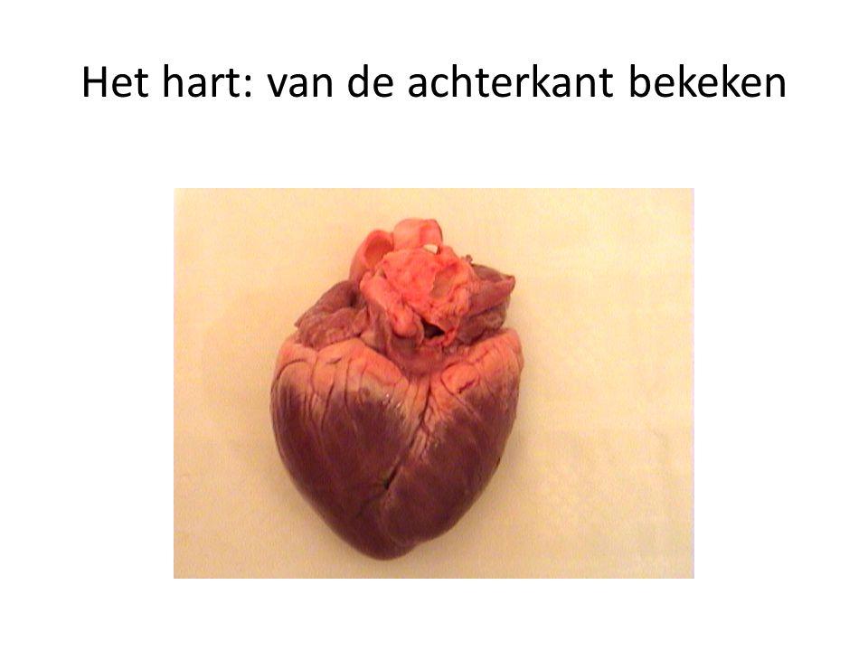 Het hart: van de achterkant bekeken