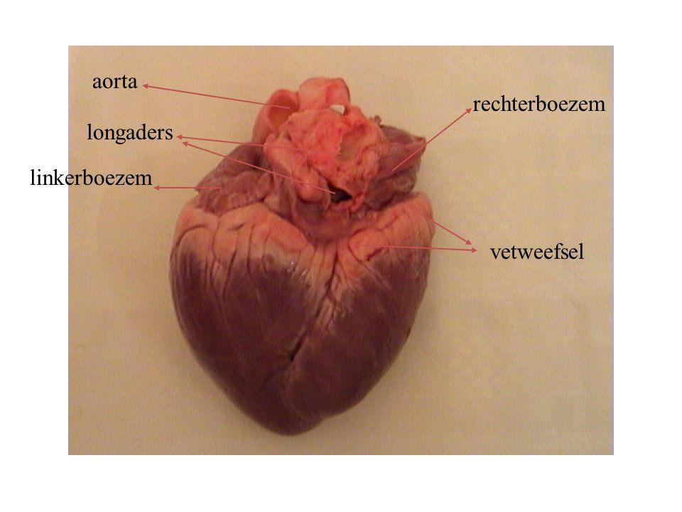 aorta longaders rechterboezem linkerboezem vetweefsel