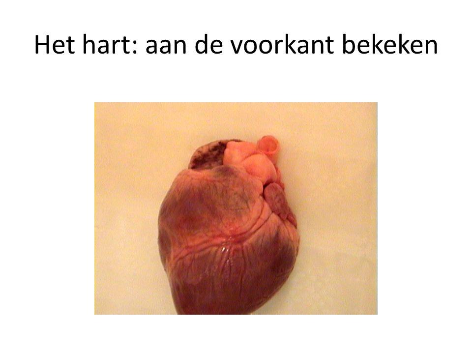 Het hart: aan de voorkant bekeken