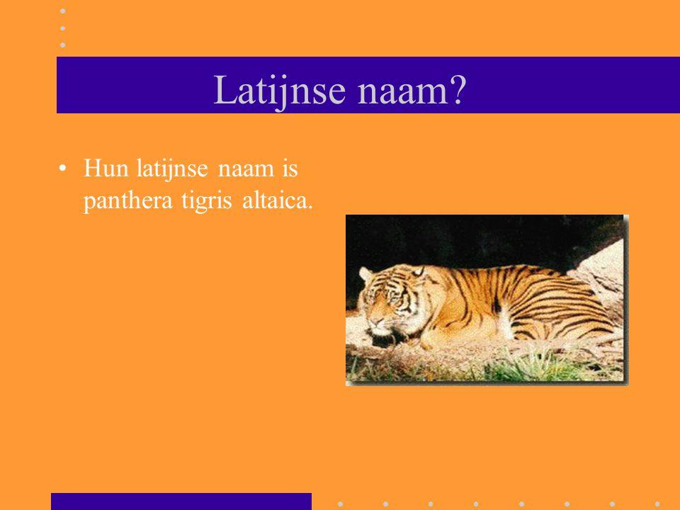 Latijnse naam? Hun latijnse naam is panthera tigris altaica.