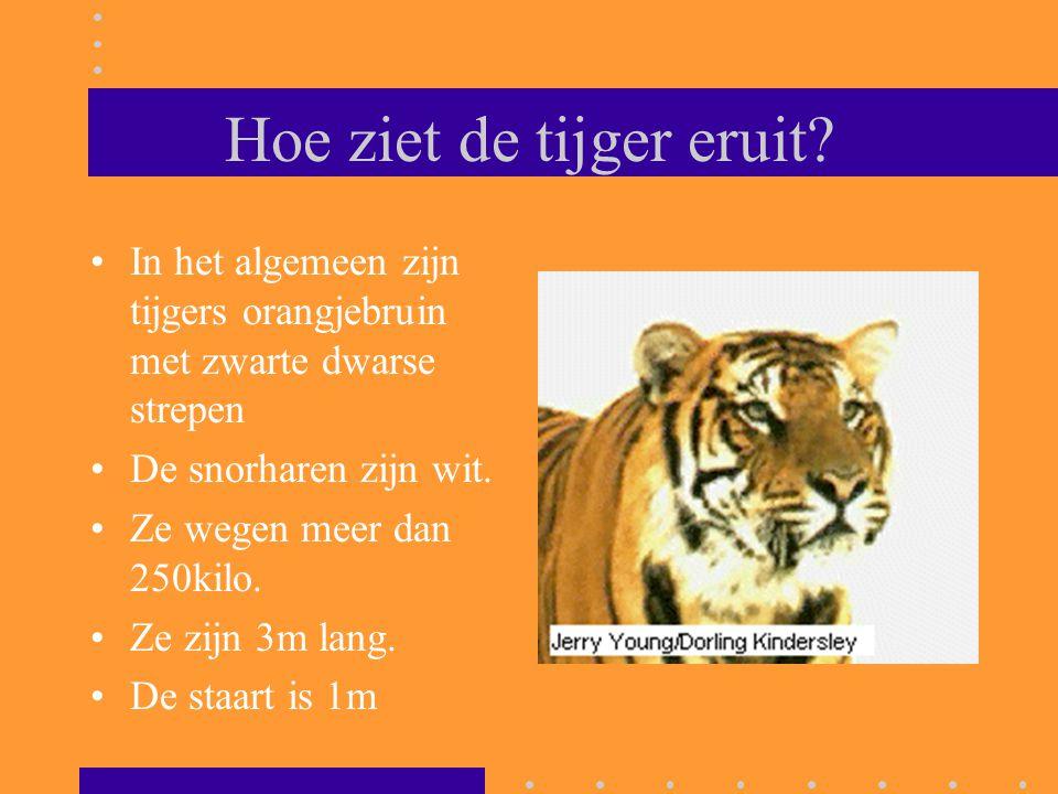 Hoe ziet de tijger eruit? In het algemeen zijn tijgers orangjebruin met zwarte dwarse strepen De snorharen zijn wit. Ze wegen meer dan 250kilo. Ze zij