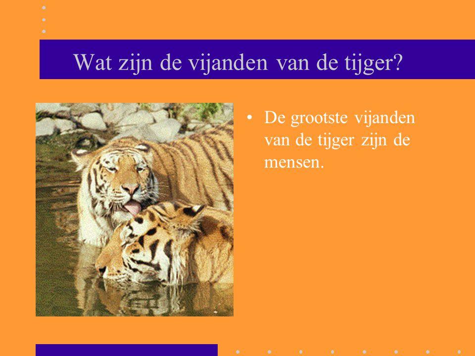 Wat zijn de vijanden van de tijger? De grootste vijanden van de tijger zijn de mensen.