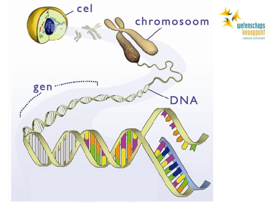 DNA kopiëren Animatie van DNA kopieren