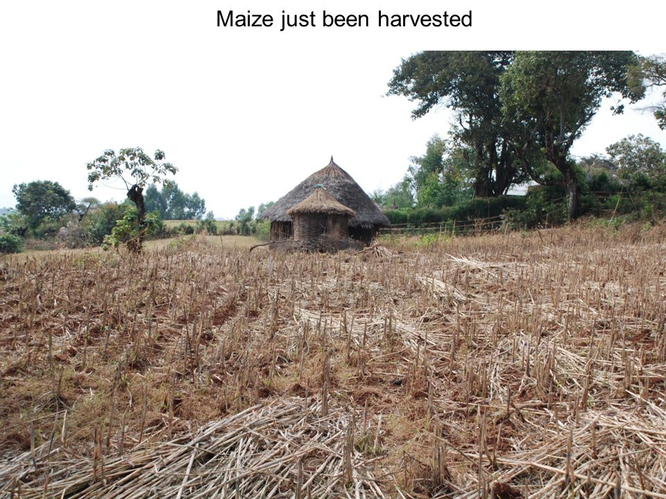 Maize just been harvested