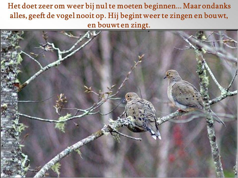 Heel vaak, net voordat de eieren uitkomen, vernietigd een dier, een mens of het weer, het nest wederom. Maar nu met zijn waardevolle inhoud.