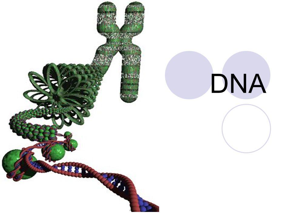 Chromosomen zijn opgebouwd uit heel sterk opgevouwen DNA, gerold om eiwitten (histonen) Chromosomen zijn alleen zichtbaar vlak voordat een cel gaat delen (DNA spiraliseert) Zie animatie Bioplek