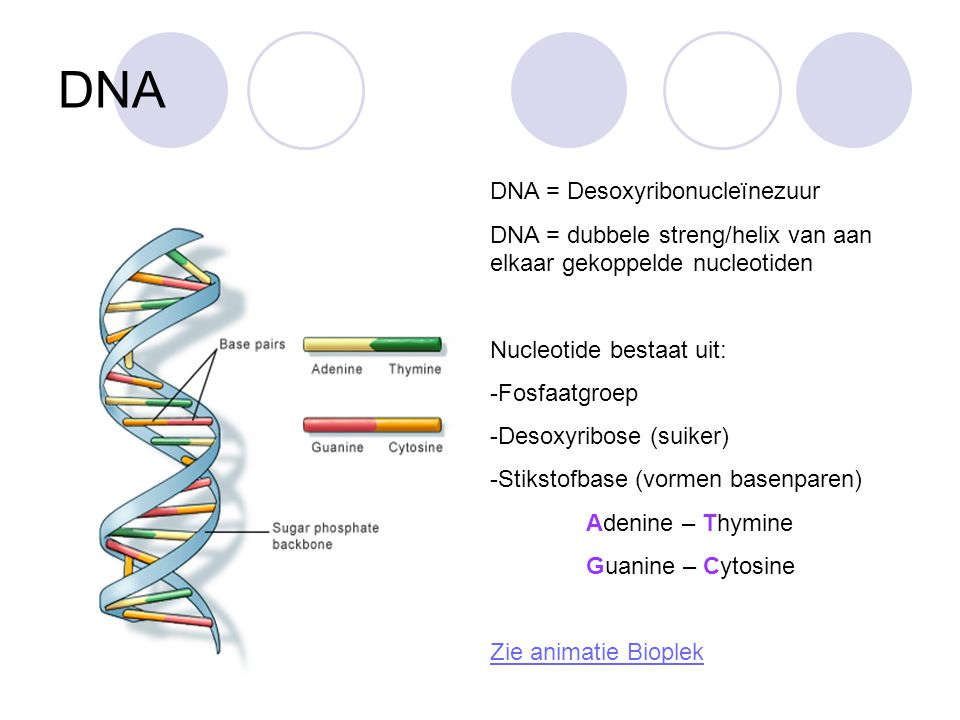 DNA DNA = Desoxyribonucleïnezuur DNA = dubbele streng/helix van aan elkaar gekoppelde nucleotiden Nucleotide bestaat uit: -Fosfaatgroep -Desoxyribose (suiker) -Stikstofbase (vormen basenparen) Adenine – Thymine Guanine – Cytosine Zie animatie Bioplek