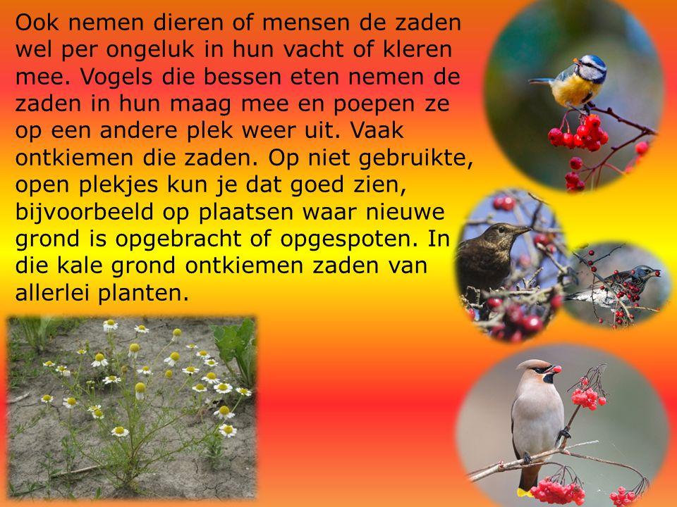 Ook nemen dieren of mensen de zaden wel per ongeluk in hun vacht of kleren mee. Vogels die bessen eten nemen de zaden in hun maag mee en poepen ze op