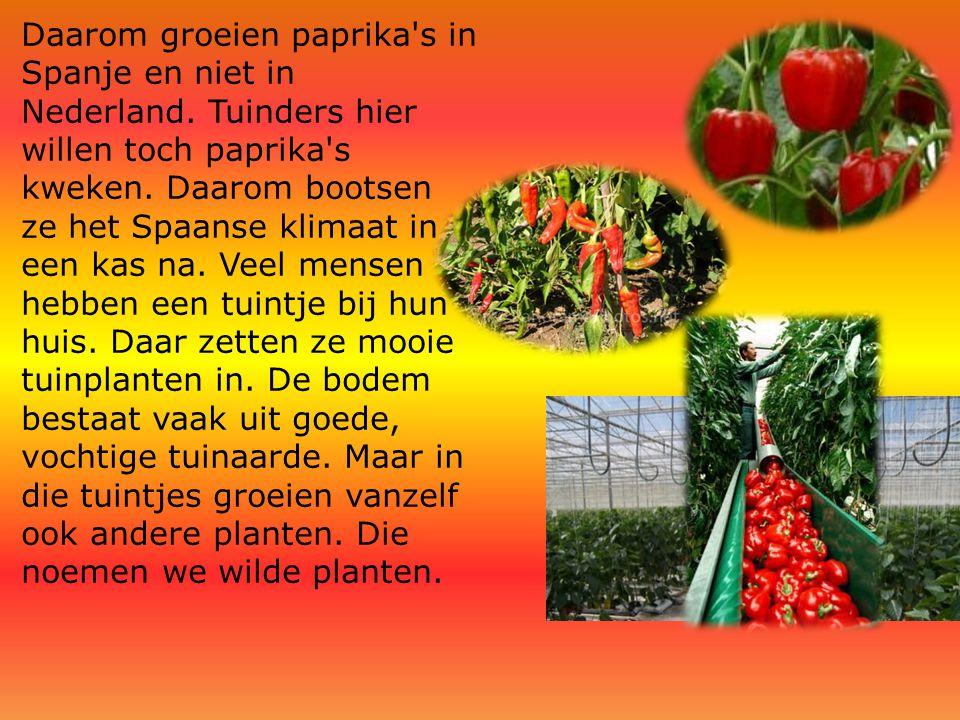 Daarom groeien paprika's in Spanje en niet in Nederland. Tuinders hier willen toch paprika's kweken. Daarom bootsen ze het Spaanse klimaat in een kas