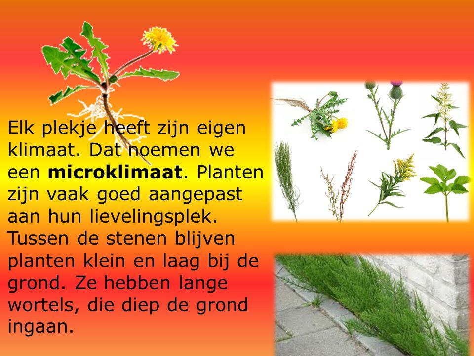 Elk plekje heeft zijn eigen klimaat. Dat noemen we een microklimaat. Planten zijn vaak goed aangepast aan hun lievelingsplek. Tussen de stenen blijven