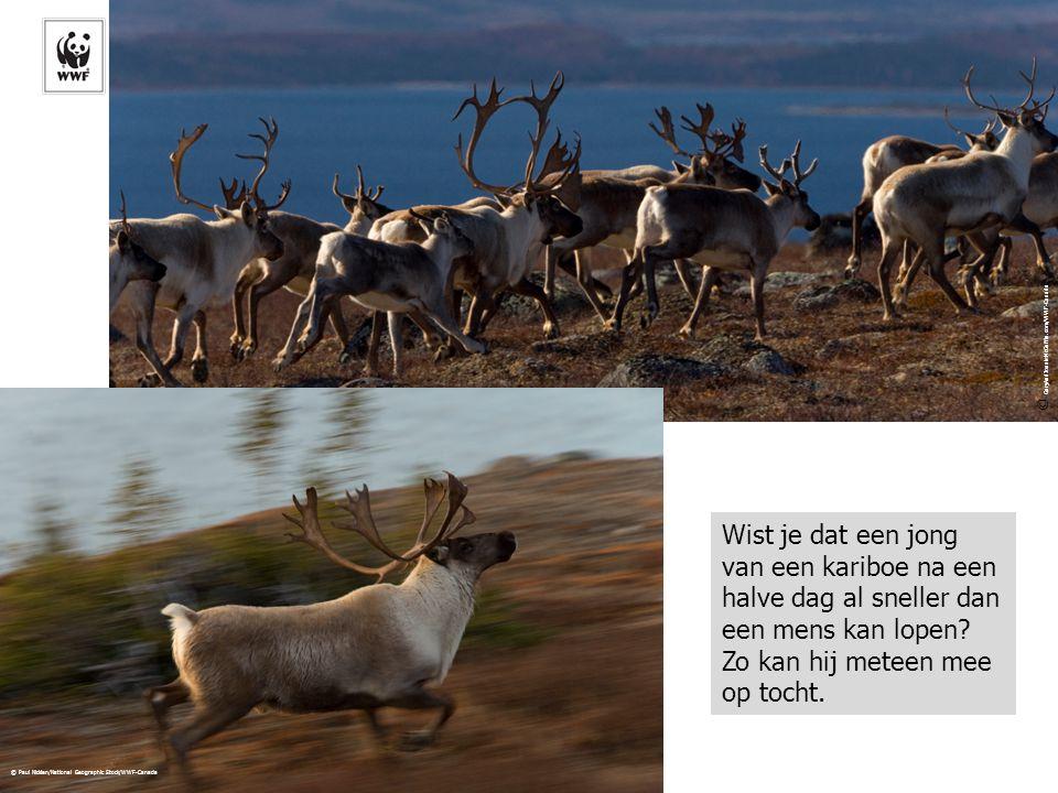© Paul Nicklen/National Geographic Stock/WWF-Canada © GaryAndJoanieMcGuffin.com/WWF-Canada Wist je dat een jong van een kariboe na een halve dag al sn