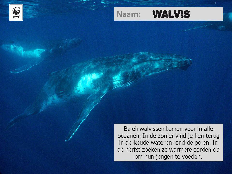 Naam: Baleinwalvissen komen voor in alle oceanen. In de zomer vind je hen terug in de koude wateren rond de polen. In de herfst zoeken ze warmere oord