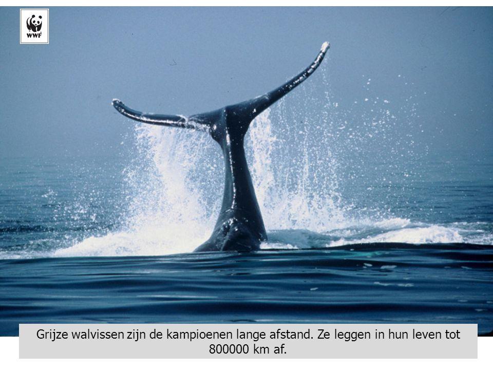 Grijze walvissen zijn de kampioenen lange afstand. Ze leggen in hun leven tot 800000 km af.