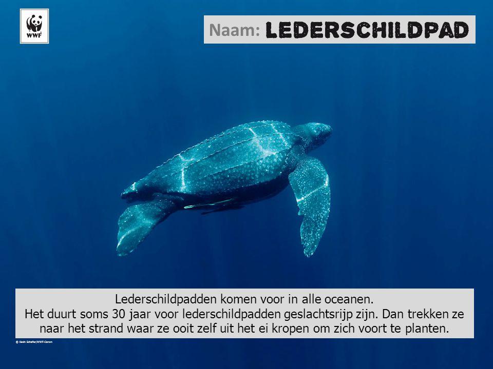 Naam: Lederschildpadden komen voor in alle oceanen. Het duurt soms 30 jaar voor lederschildpadden geslachtsrijp zijn. Dan trekken ze naar het strand w