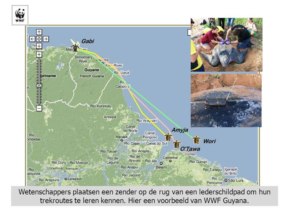 Wetenschappers plaatsen een zender op de rug van een lederschildpad om hun trekroutes te leren kennen. Hier een voorbeeld van WWF Guyana.