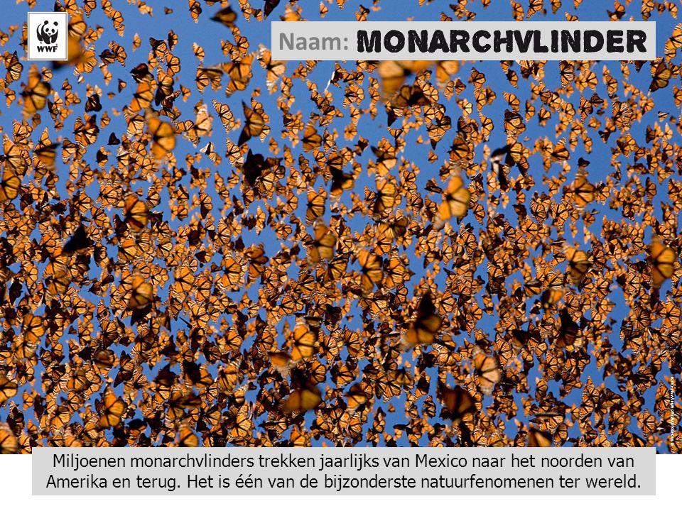 © naturepl.com/Ingo Arndt/WWF-Canon Miljoenen monarchvlinders trekken jaarlijks van Mexico naar het noorden van Amerika en terug. Het is één van de bi